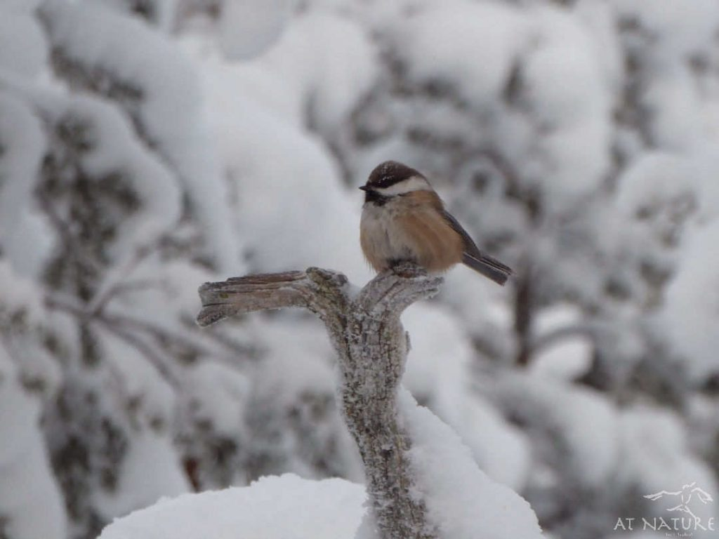 Siberian Tit on a branch.