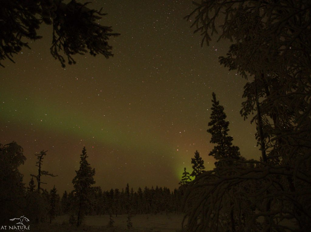 Aurora Borealis above a taiga forest.