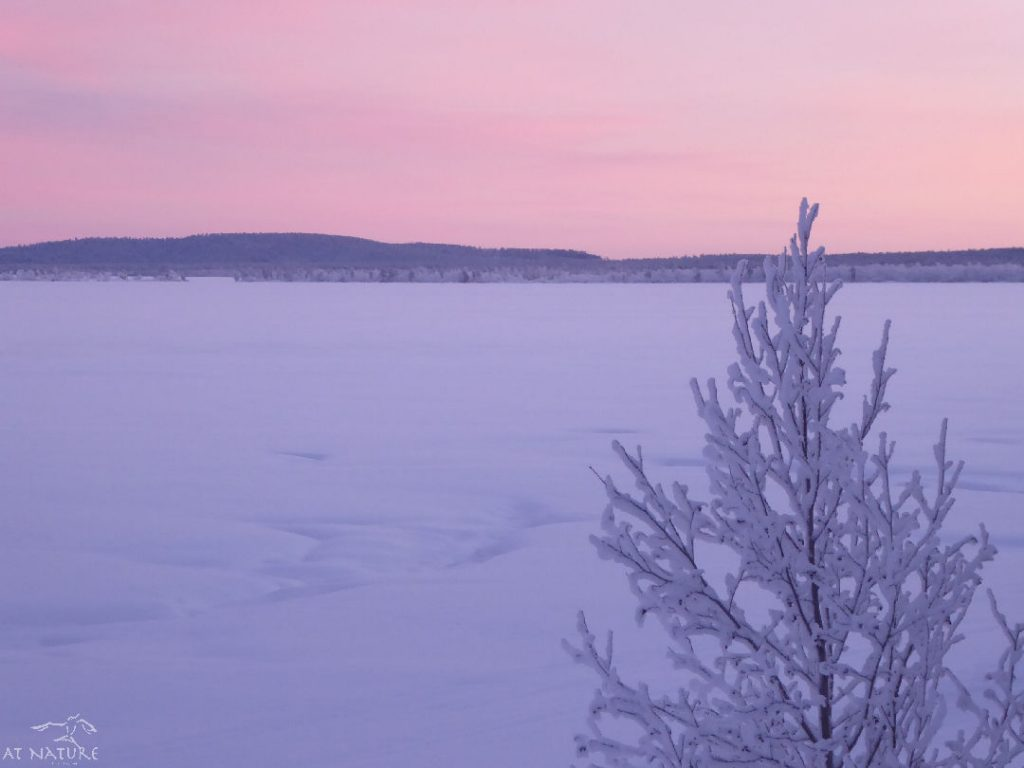 Lake Muddus and the sky above it have purple colors during polar night.