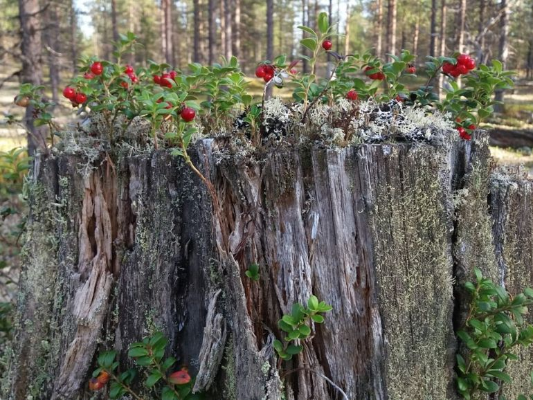 Lingonberries growing on a stump.