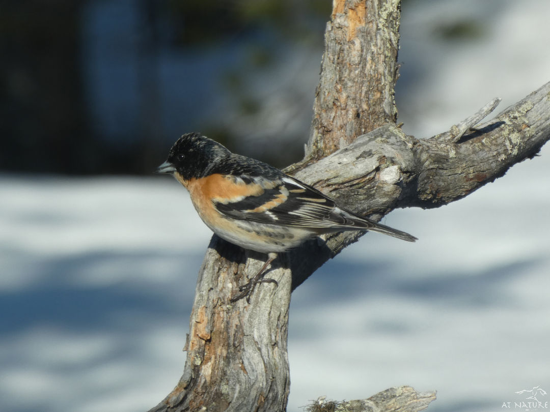 Brambling during the winter bird walk of AT Nature.