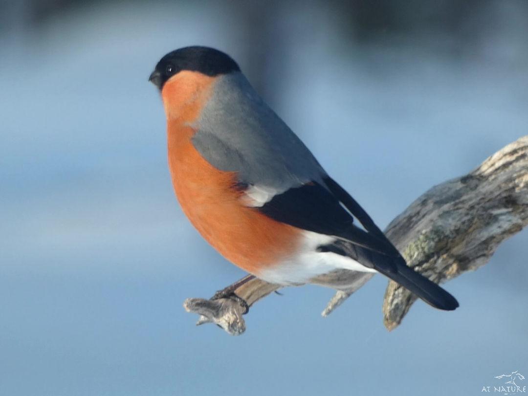 Punatulkku AT Naturen talvilinturetkellä.