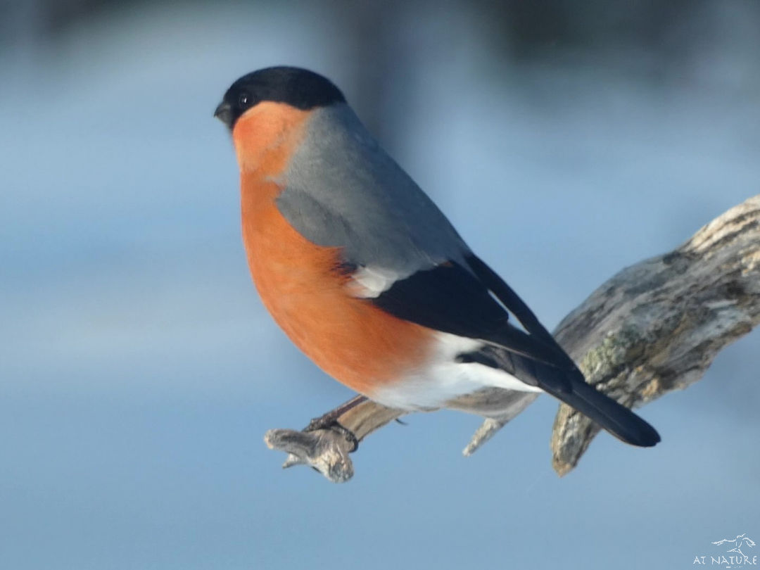 Bullfinch during the winter bird walk of AT Nature.
