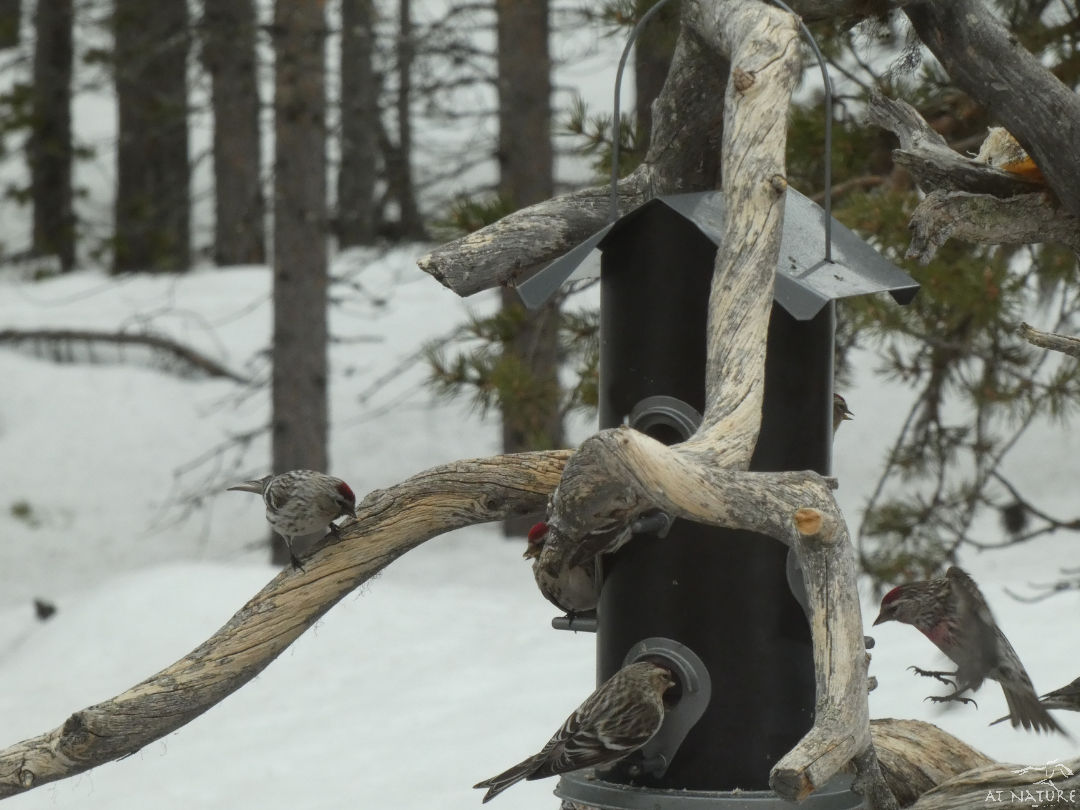 Redpolls around the feeder of AT Nature.