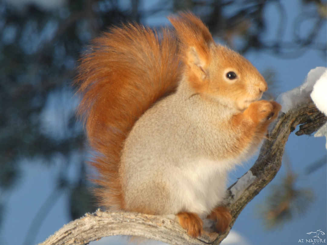 Red squirrel during the winter bird walk of AT Nature.