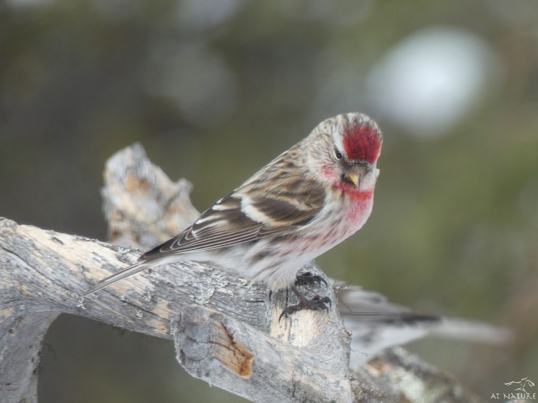 Redpoll during the winter bird walk of AT Nature.
