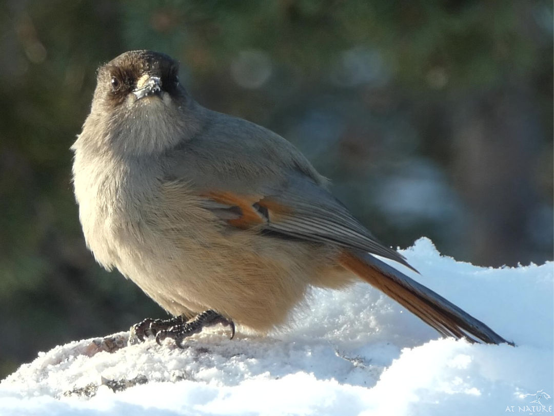 Siberian Jay during the Winter Bird Walk of AT Nature.