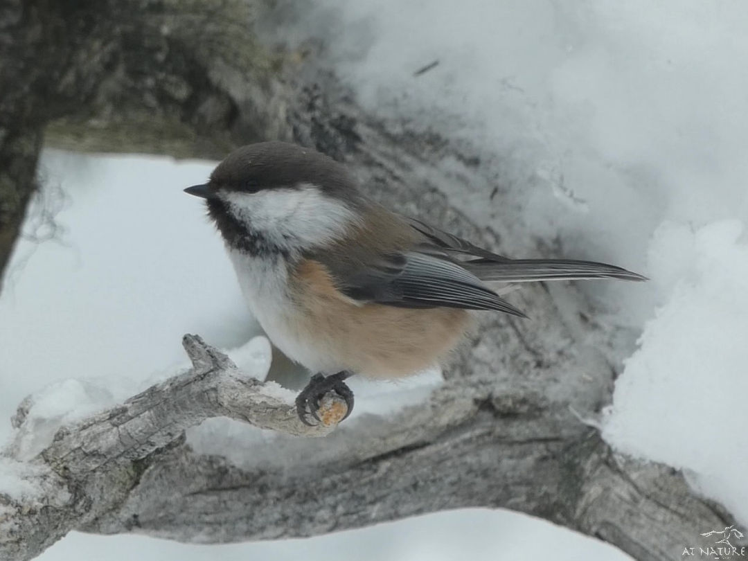 Siberian tit during the winter bird walk of AT Nature.