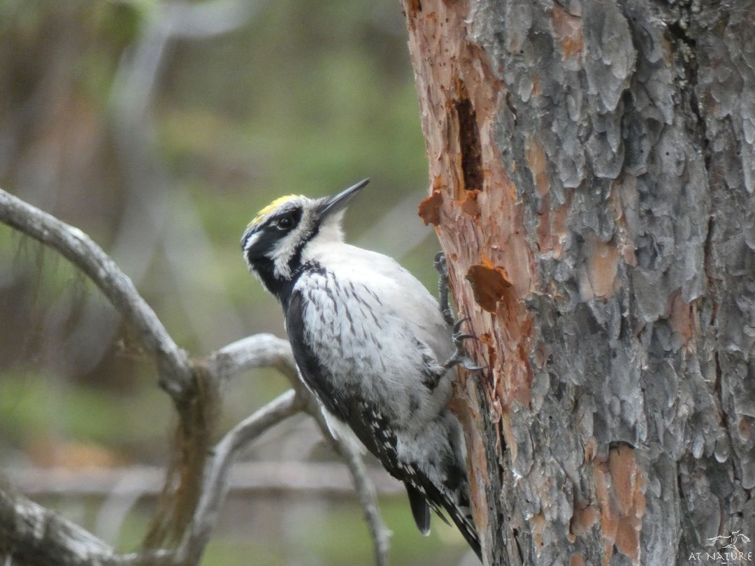 Three-toed woodpecker during the winter bird walk of AT Nature.