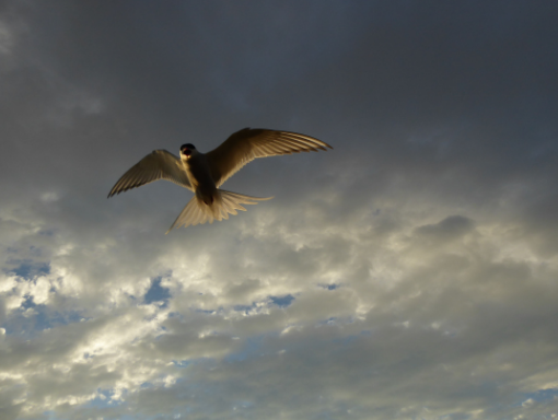 Arctic Tern is flying above AT Nature.