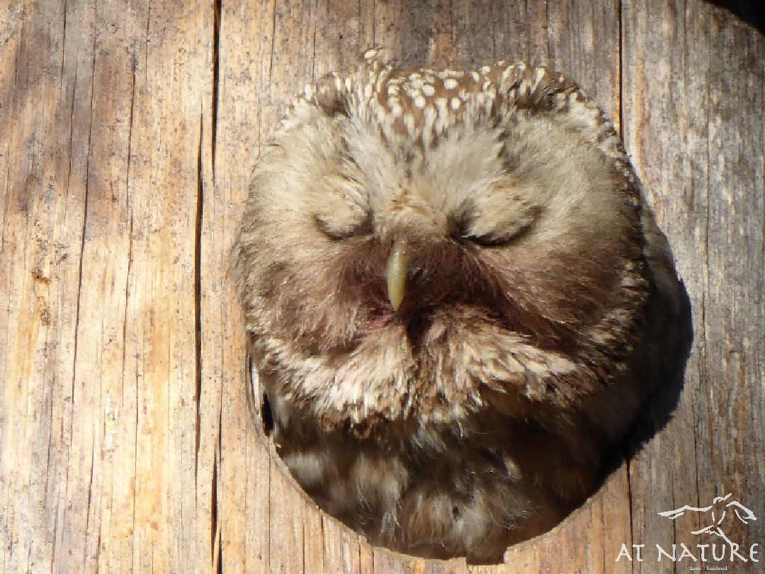 Raufußkauz ist im Vogelhaus von AT Nature.