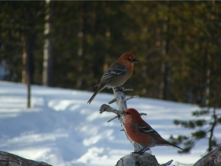 AT Nature Pine Grosbeaks on a branch.