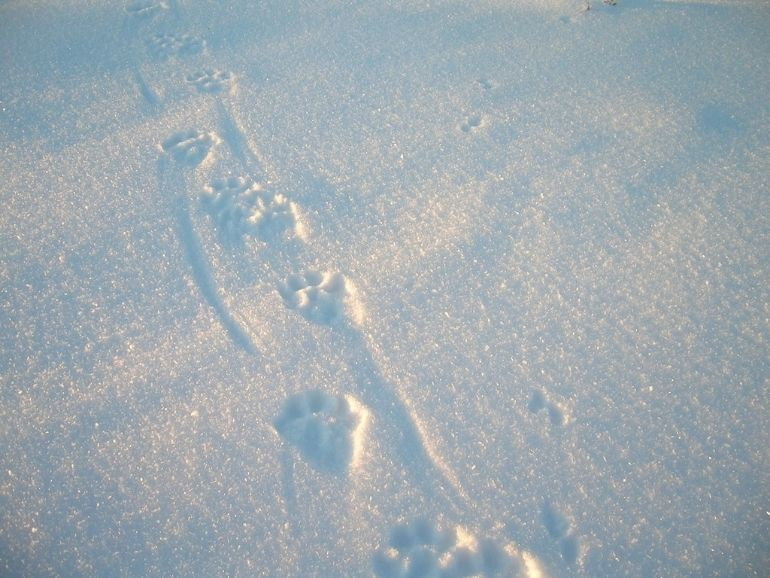 Animal tracks on the snow during the tour of AT Nature.